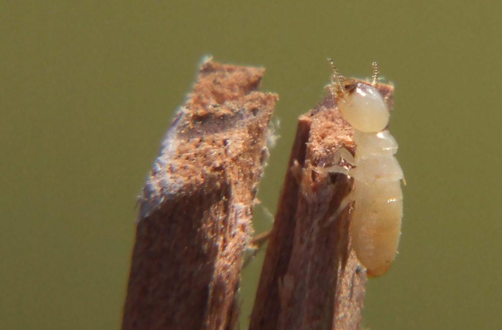 İşçi termitlerin açık renk kafaya sahip oluyor. [Wikipedia]
