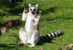 Lemur türleri birkaç yıl içinde yok olabilir. [Klishnor/Imgur]