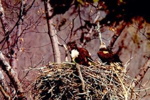 03142, 1981'de eşiyle birlikte Hemlock Nehri'ndeki yuvalarında. [NYSDEC]