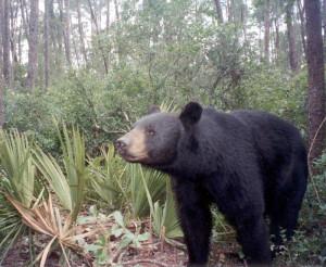Florida siyah ayısı. [Wikipedia]