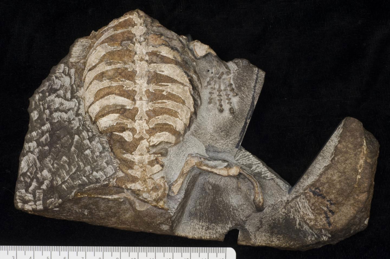 Eunotosaurus, 260 milyon yıl önce zorlu şartlarda hayatta kalmak için çamurlu toprağın altına sokuluyordu. [Tyler R. Lyson]