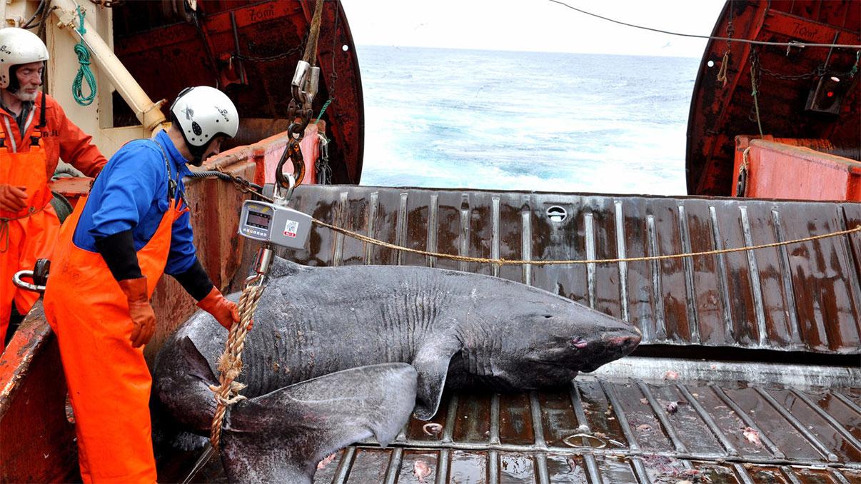 Grönland'ın güneyinde Pamiut araştırma gemisine alınan bir Grönland köpekbalığı. [Julius Nielsen]