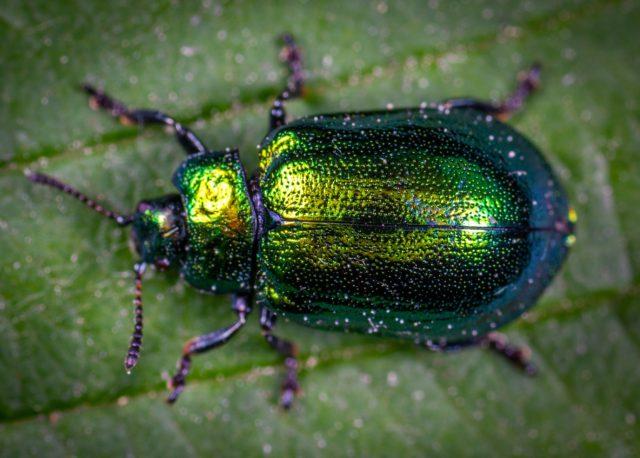 macro-photography-of-jewel-beetle-on-green-leaf-1114318